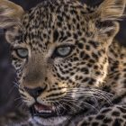 `` Jade Eyed Leopard '' lance la 10e semaine des grands félins de Nat Geo WILD (VIDEO)