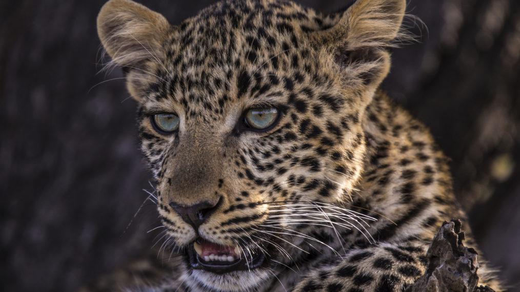 « Jade Eyed Leopard » lance la 10e semaine des grands félins de Nat Geo WILD (VIDEO)