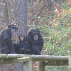Aperçu de `` Meet the Chimps '', la série réconfortante dont vous avez besoin en ce moment (VIDEO)