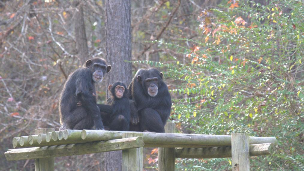 Aperçu de « Meet the Chimps », la série réconfortante dont vous avez besoin en ce moment (VIDEO)