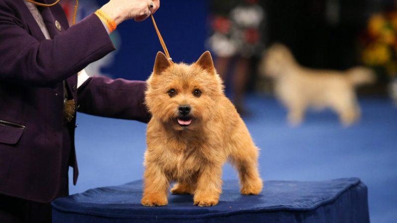 À quoi s'attendre de l'exposition canine nationale à Thanksgiving en 2020