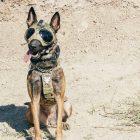 `` SEAL Team '': voici le nouveau membre canin de Bravo Pepper (PHOTO)