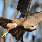 `` Une année sauvage sur Terre '': montez en flèche avec les faucons et plongez profondément avec les raies manta dans un aperçu (VIDEO)