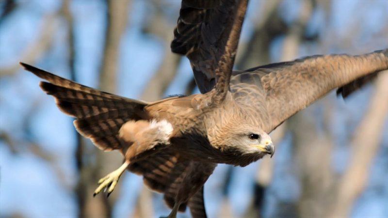 « Une année sauvage sur Terre »: montez en flèche avec les faucons et plongez profondément avec les raies manta dans un aperçu (VIDEO)