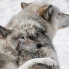 Une meute de loups affamés suit un wapiti dans un aperçu final de `` Une année sauvage sur Terre '' (VIDEO)