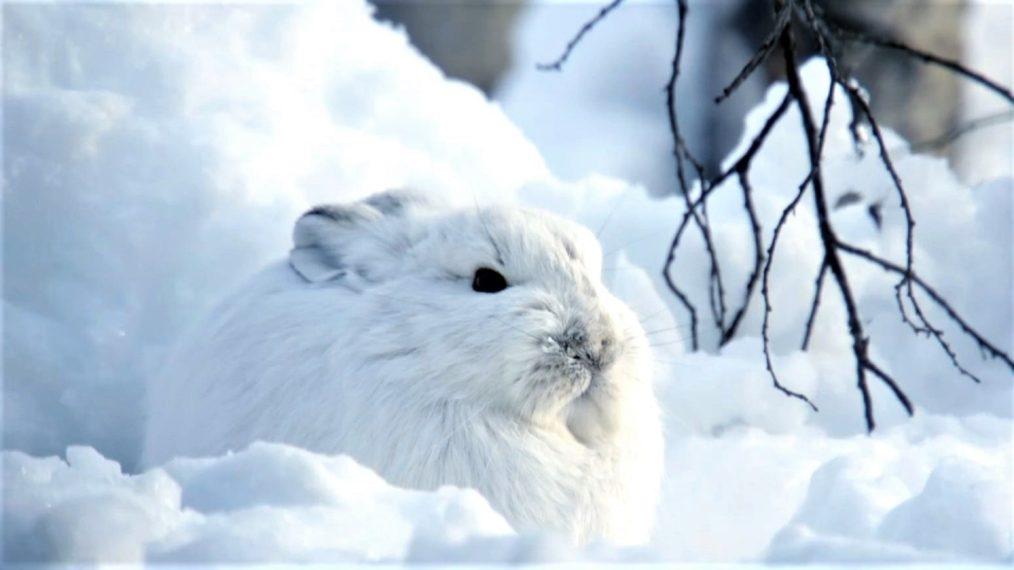 Snowshoe Hare fait passer le camouflage à un niveau supérieur dans un aperçu des « animaux des neiges » (VIDEO)