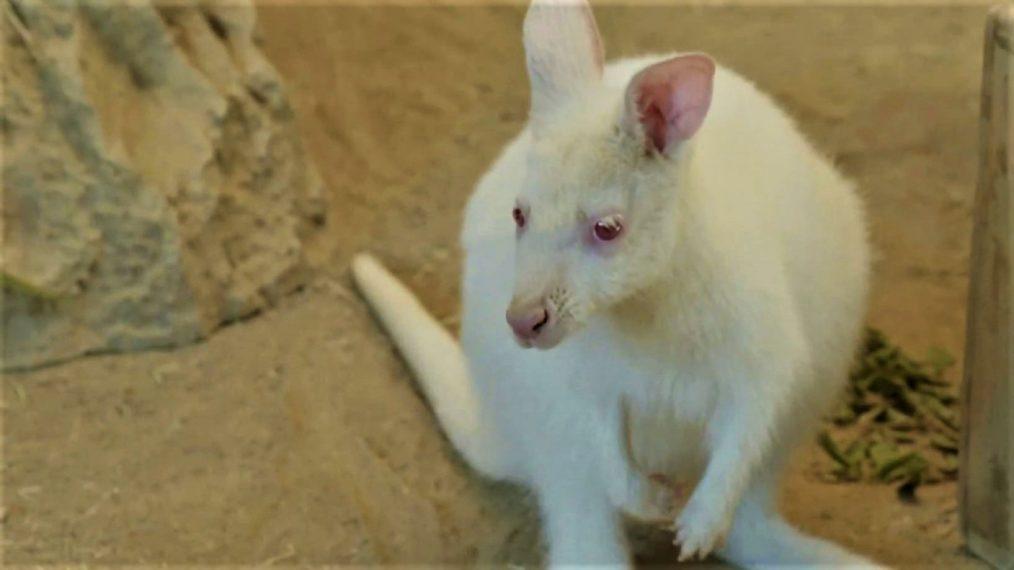 Premier coup d'œil à « The Zoo: San Diego »: rencontrez Everest, le bébé wallaby albinos (VIDEO)