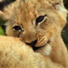 La lionne adore ses louveteaux mignons dans un aperçu de `` Malika la reine lion '' (VIDEO)
