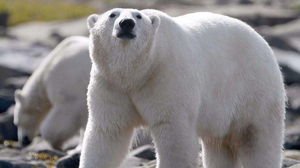 Royaume des ours polaires - Nat Geo Wild