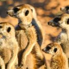 Meerkat Manor: Rise of the Dynasty: BBC America inaugure la nouvelle série Nature