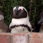 'Penguin Town' explore la vie unique des pingouins africains à Simon's Town (VIDEO)