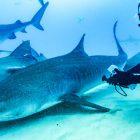 4 Shark Week & SharkFest Specials Explorer les modèles d'accouplement