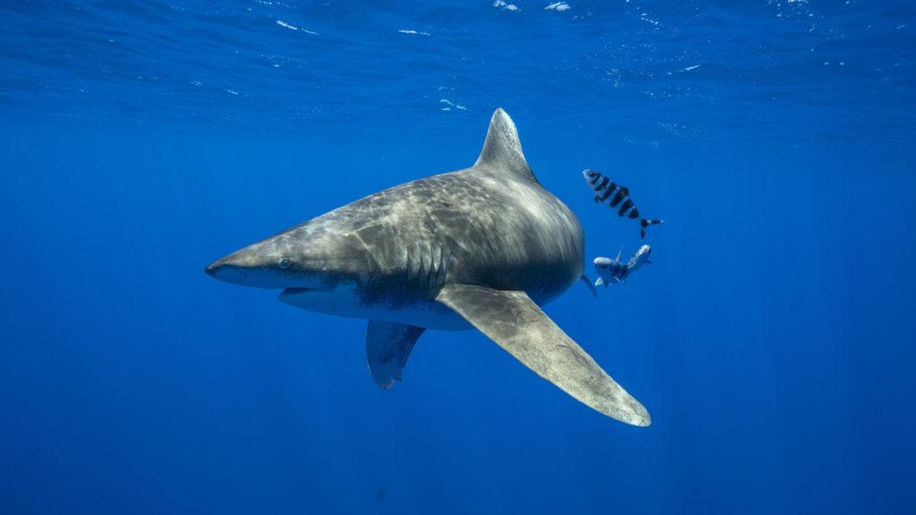 Aperçu de «Quand les requins attaquent»: la cause d'un pic ressemble à une intrigue de film B (VIDEO)