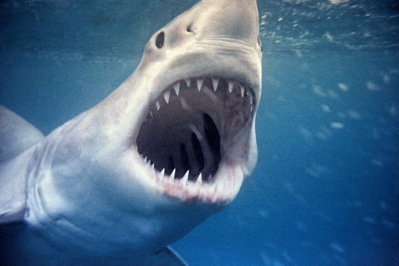 Grand requin blanc jouant avec des requins National Geographic