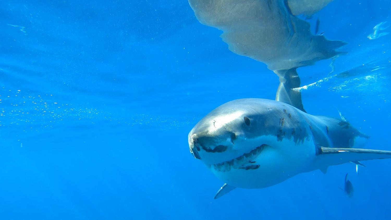 L'attaque d'un requin attaque Great White National Geographic