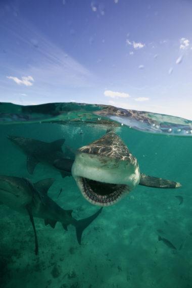 Gangs de requins taureau National Geographic