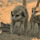 'Meerkat Manor' a une rencontre avec un serpent dans Rise of the Dynasty' Sneak Peek (VIDEO)